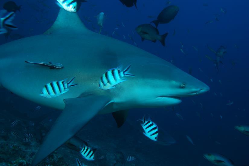 Fiji sharks