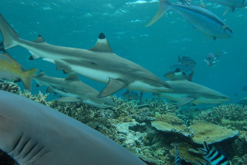 Shark action in Fiji