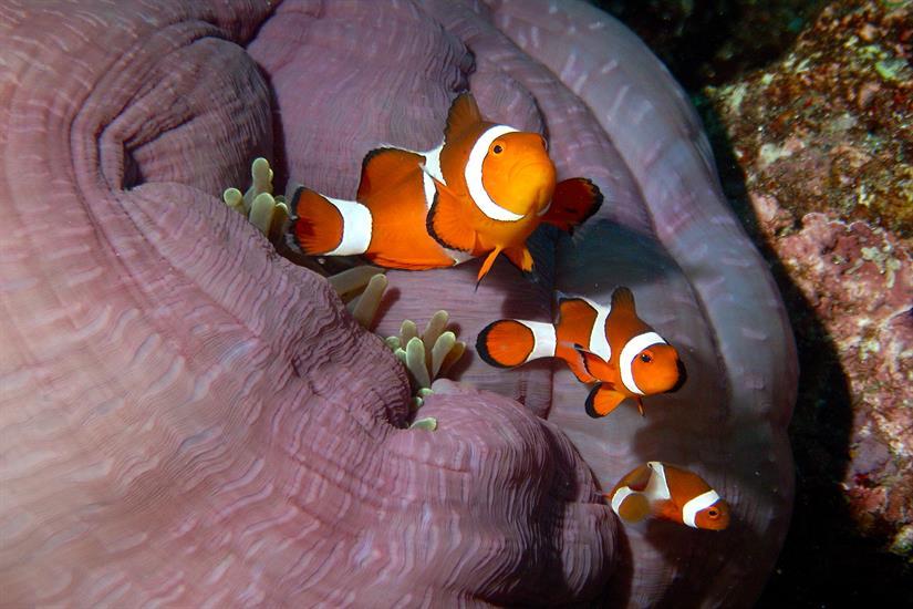 Clown Fish - MSY Waow Liveaboard