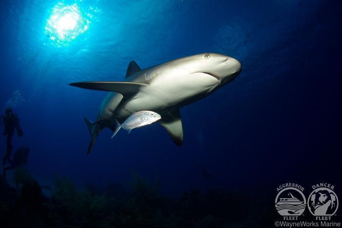 Shark Marine Life Belize Aggressor III Liveaboard
