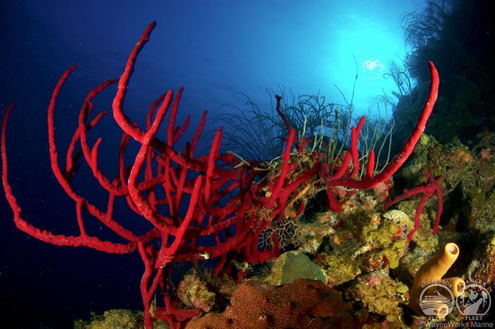 Amazing Corals Belize Aggressor III Liveaboard