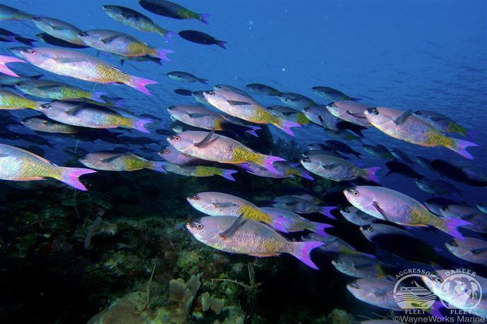 Schooling fish - Belize Aggressor IV Liveaboard