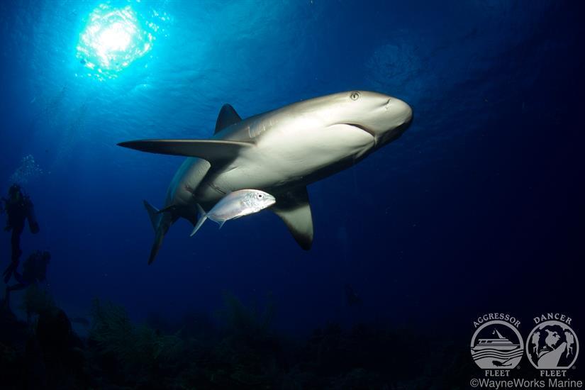 Belize Aggressor IV Liveaboard Shark Diving