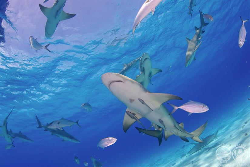 Bahamas Aggressor Shark Diving