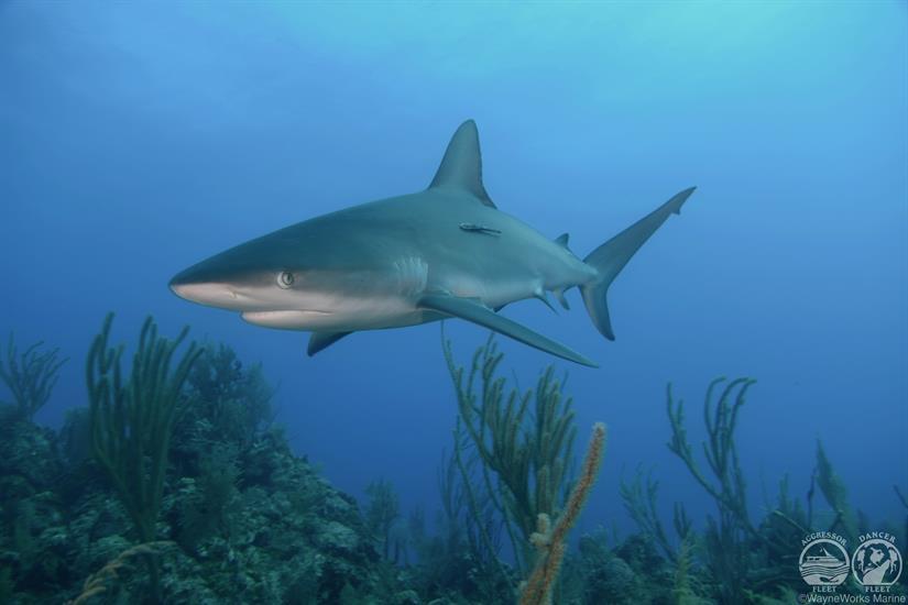 Bahamas Aggressor Liveaboard Shark Diving