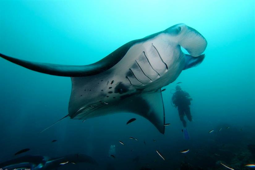 Diving with Manta Rays - MV Orion Liveaboard