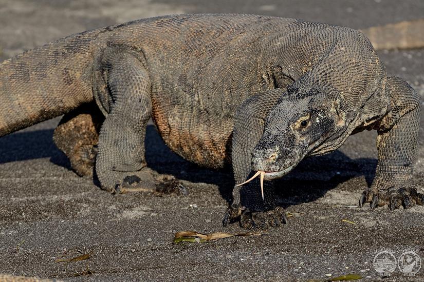 Visit the Komodo Dragon with the Indo Aggressor