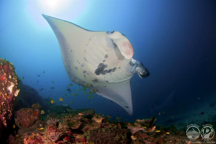 Dive with Mantas with the Indo Aggressor