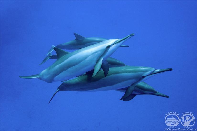 Diving with Dolphins aboard Kona Aggressor II Liveaboard