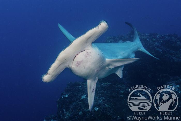 Hammerhead Diving with Okeanos Aggressor Liveaboard