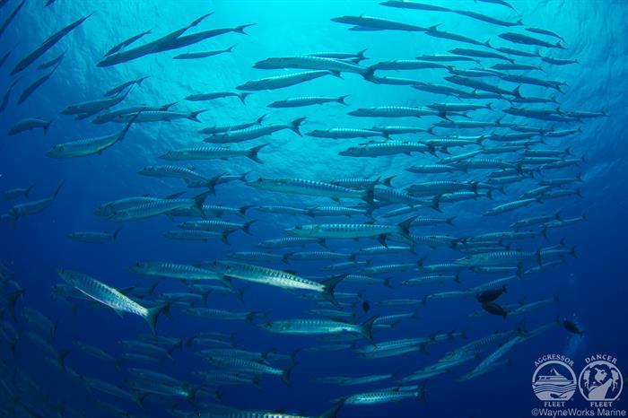 Schools of Fish with Palau Aggressor II Liveaboard