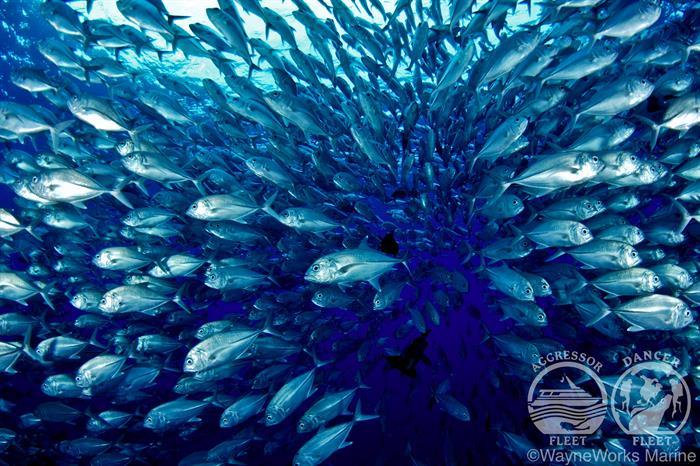 Huge Schools of Fish with Palau Aggressor II Liveaboard