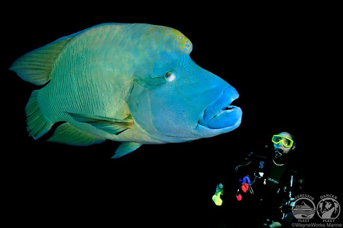 Napoleon Wrasse with Red Sea Aggressor Liveaboard