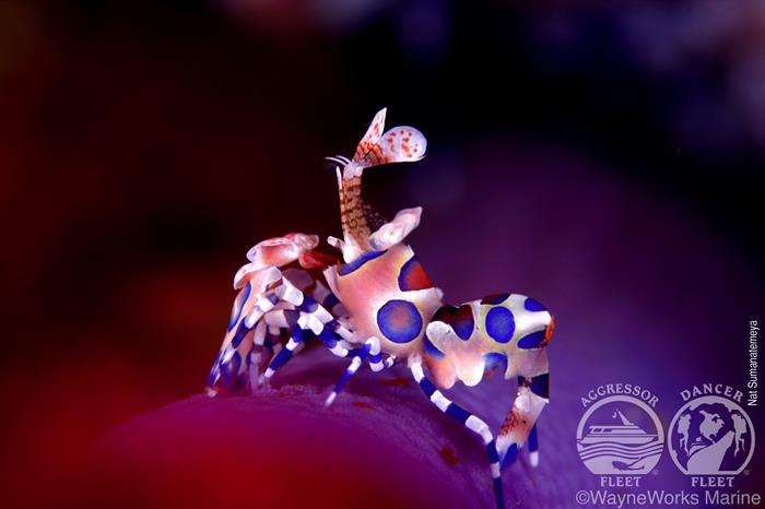 Harlequin Shrimps in the Andaman Sea