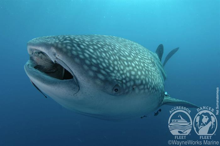 Whale Sharks with Thailand Aggressor Liveaboard