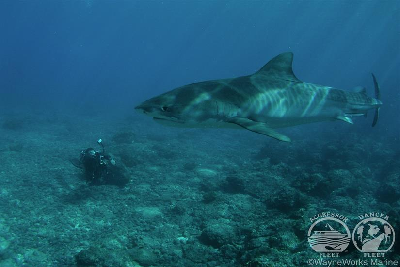 Shark Diving with the Okeanos Aggressor II