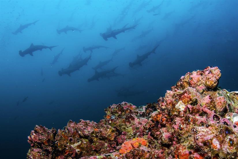 Schooling Hammerheads - Okeanos Aggressor II