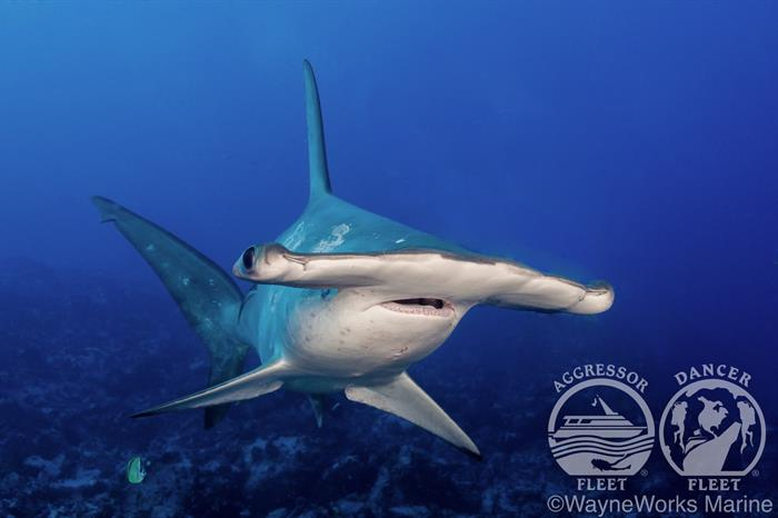 Hammerhead Diving Cocos Islands with Okeanos Aggressor II Liveaboard