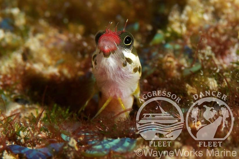Red Lipped Batfish - Okeanos Aggressor II