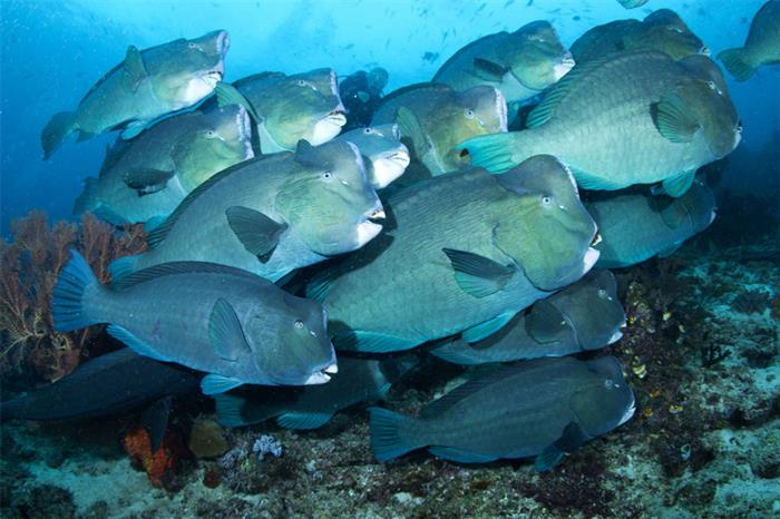 Schooling Bumphead Parrotfish in Raja Ampat