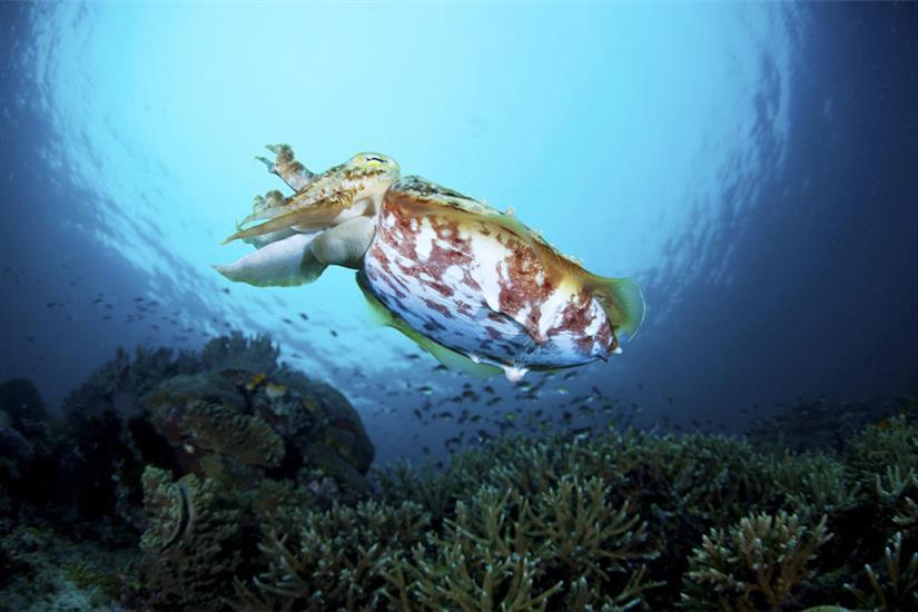 Cuttlefish in Komodo