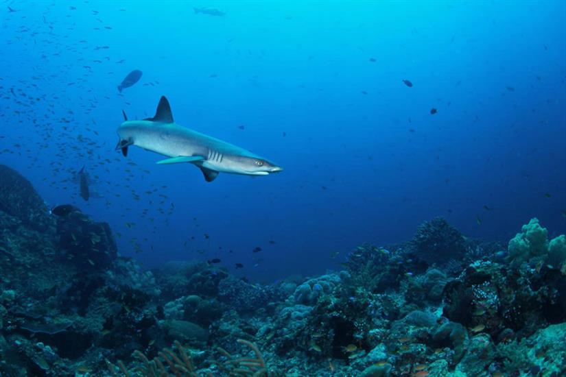 Reef Shark - Indonesia