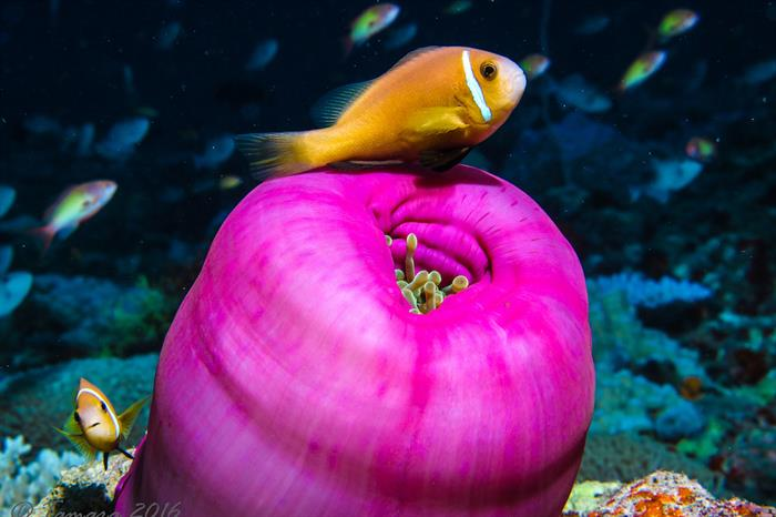 Clownfish - Maldives