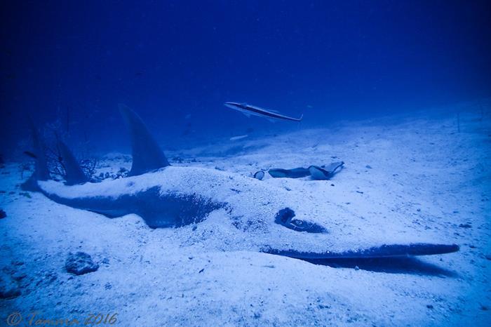 Guitar Fish - Maldives