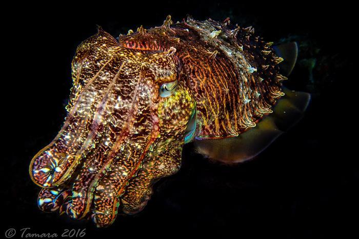 Cuttlefish - Maldives