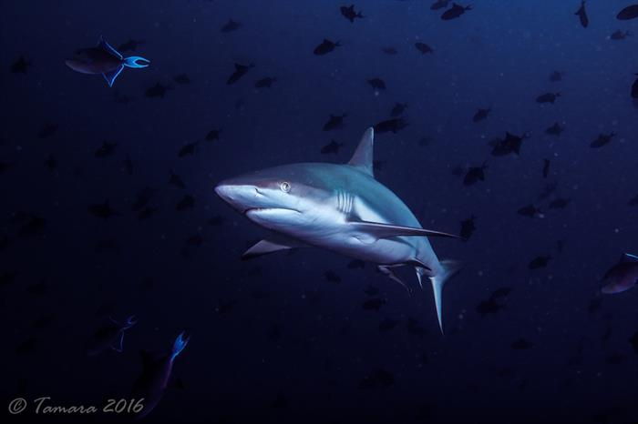 Diving with Sharks in the Maldives