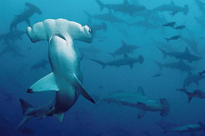 Hammerhead diving - Argo Liveaboard
