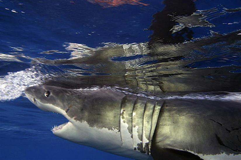 Great White Shark Diving Guadalupe