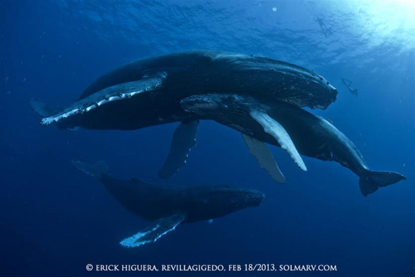 Humpback Whales in the Socorro Islands
