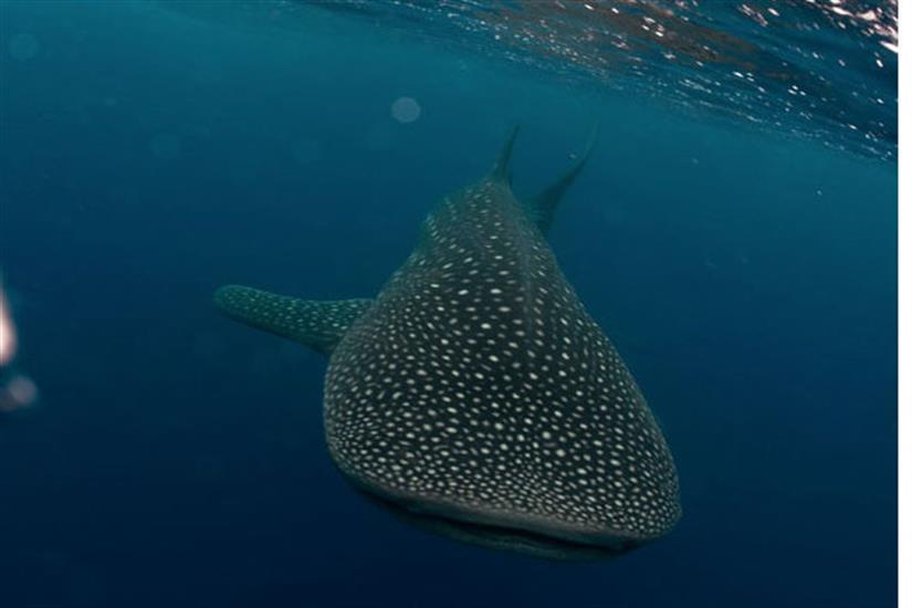 Whale Sharks in Bay Islands Honduras