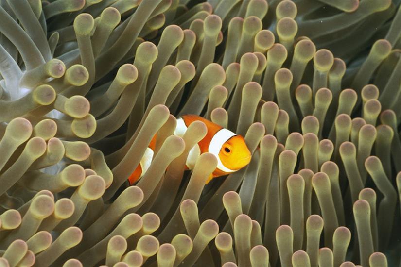 Clownfish in Indonesia