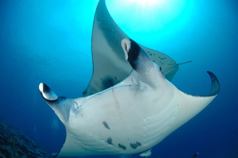 Manta Madness in the Maldives - Ocean Divine