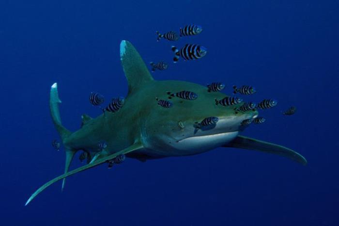 Oceanic Whitetip Shark - Emperor Asmaa