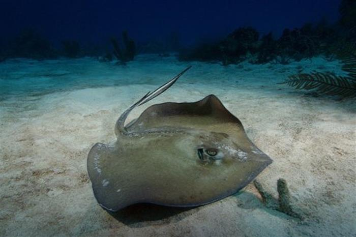 Stingray in Turks and Caicos