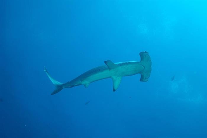 Galapagos Hammerhead