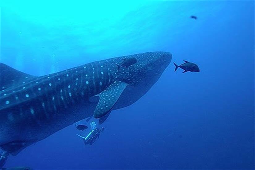Whale Sharks in the Galapagos