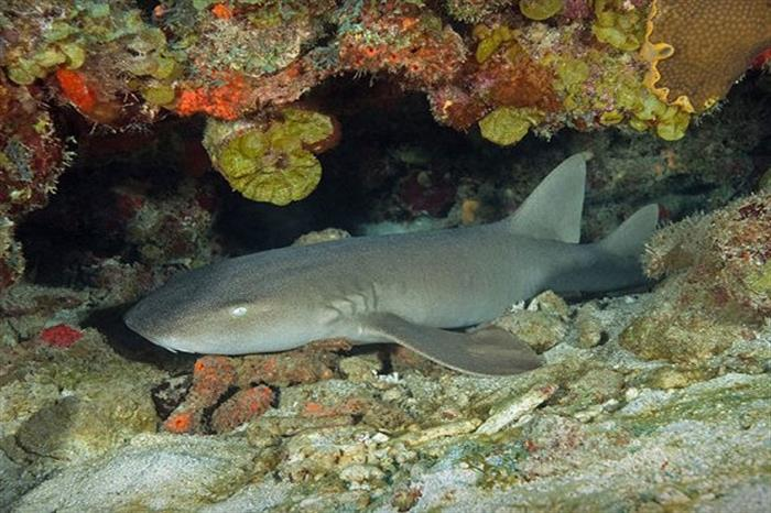 Friendly nurse shark diving with Caribbean Explorer II