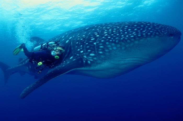 Amazing big fish - Whale Shark - Galapagos Sky