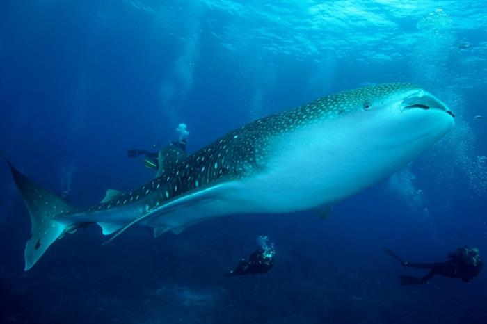 Whale sharks, Galapagos Islands - Galapagos Sky liveaboard