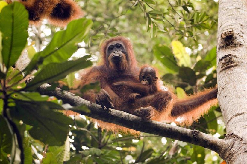 Amazing Orangutans in Kalimantan