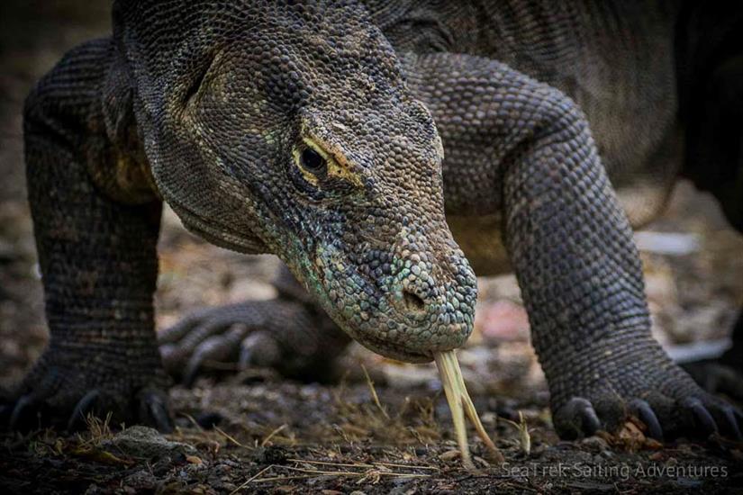 See the famous Komodo Dragons - Katharina Liveaboard