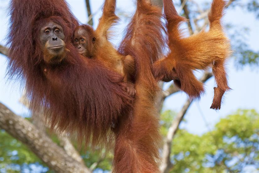 Playful Orangutan family in Kalimantan - Katharina Liveaboard
