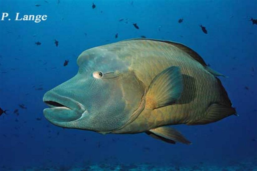 Napoleon Wrasse in Palau - Ocean Hunter 1
