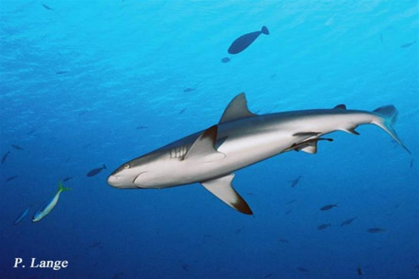 Amazing sharks on your dives in Palau - Ocean Hunter 1