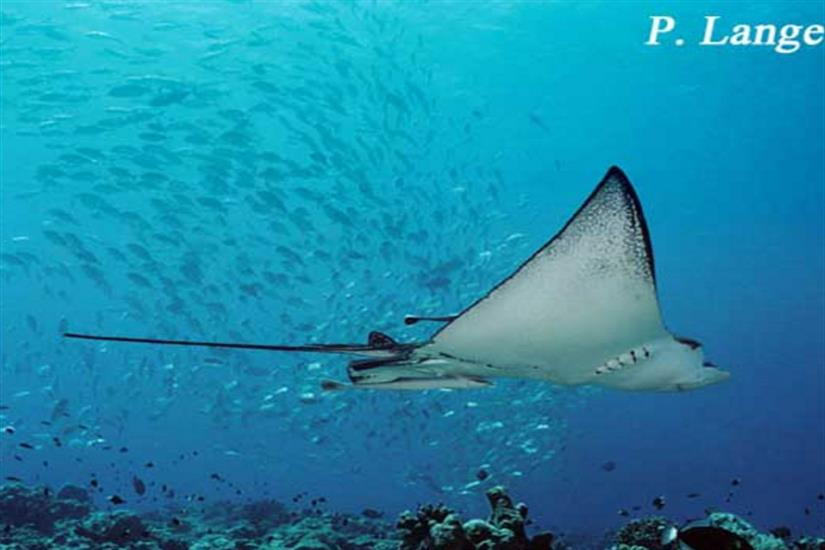 Graceful Eagle Rays pass by in Palau - Ocean Hunter 1