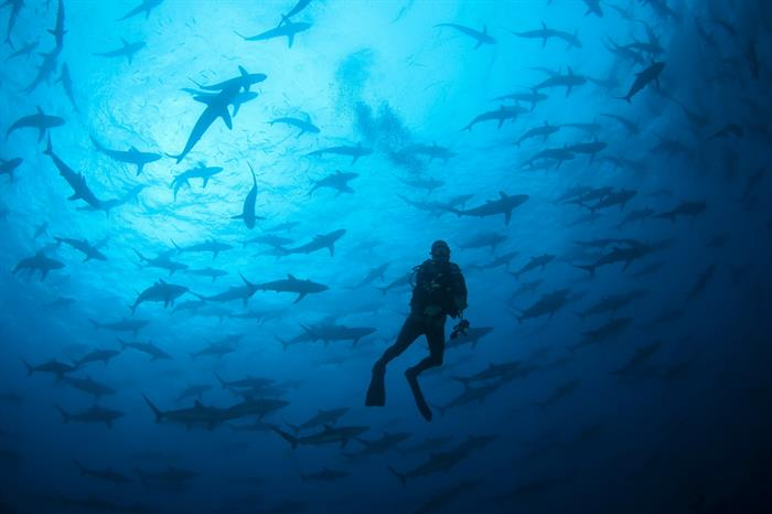Huge schools of sharks in Cocos Islands